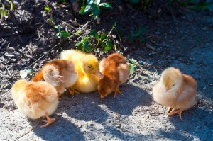 Play with baby chicks at Freightliners Farm. Image: Jim Pennucci