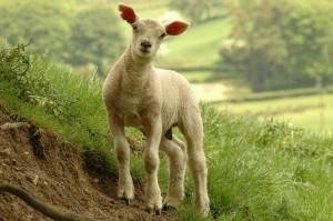Lambs will be St John's Gate for children to stroke. Image: Roger Davies